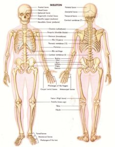 human anatomy and physiology bones